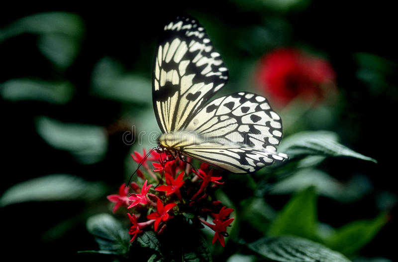 Download Butterfly  on red flowers stock photo. Image of green - 9899954