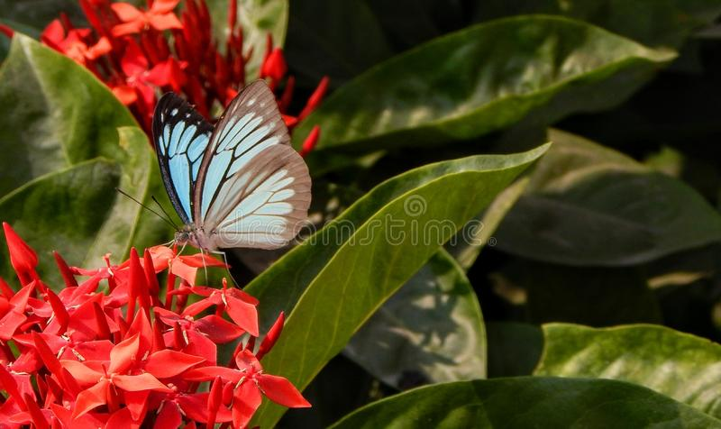 Butterfly on red flowers. A beautiful skyblue butterfly seated on red flowers stock photo