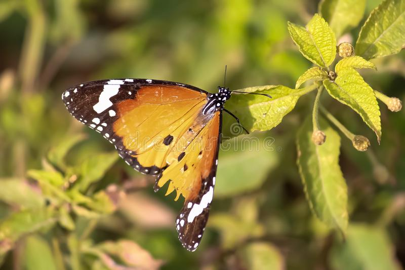 Butterfly at rest in a garden. A butterfly lands on a plant for food or nector. Beautiful body pattern and structure with unique color and shape royalty free stock image