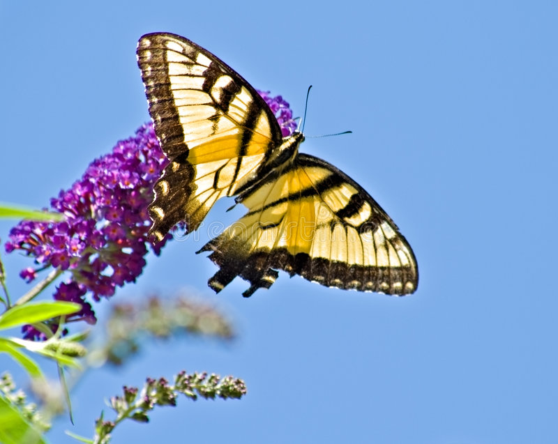 Butterfly resting on a flower royalty free stock images