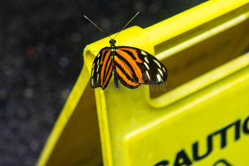Monarch Butterfly on Caution Sign. Butterfly rests on a yellow caution sign royalty free stock photos