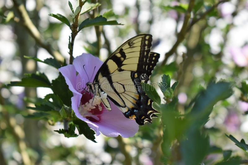 Butterfly on a rose of sharon royalty free stock photos