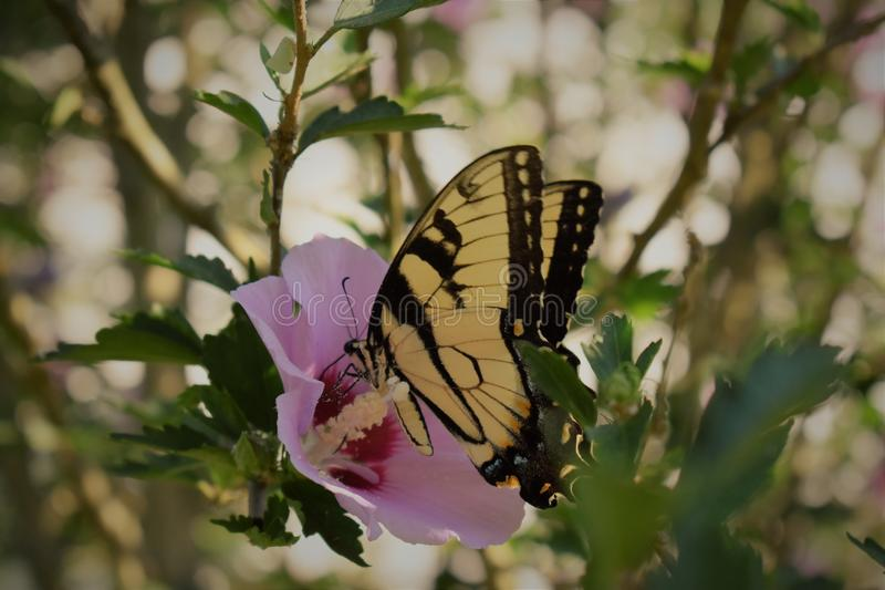 Butterfly on a rose of sharon stock photography
