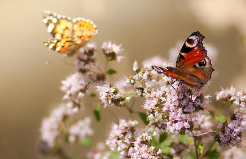 Butterfly's lunch royalty free stock image