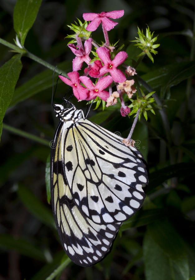 Butterfly's Lunch. Tree Nymph Butterfly (Idea Leuconoe) feeding on nector from flower royalty free stock images
