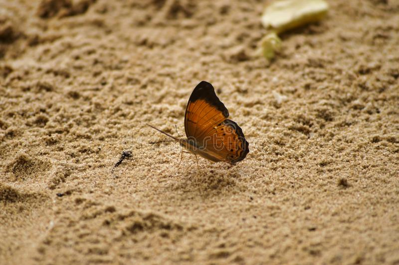 Butterfly on the sand on the island of Tioman Malaysia. Cute butterfly on the sand on the island of Tioman Malaysia.  Brown sand brown butterfly calm stock image