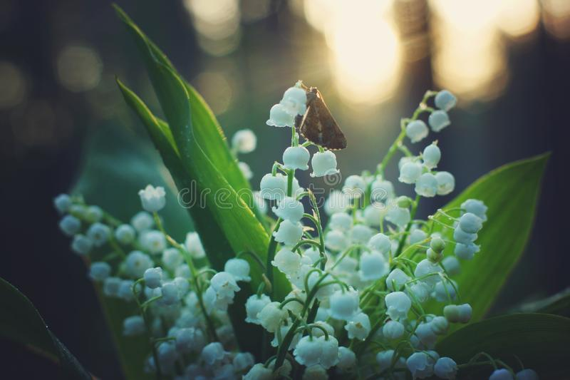Butterfly sat on a bouquet of white lilies of the valley in the forest at sunrise royalty free stock image