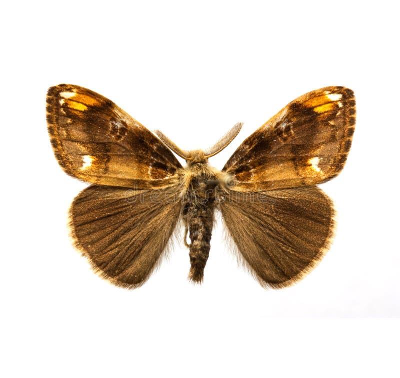 Butterfly - Scarce Vapourer Stock Image