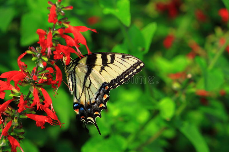 Butterfly on Scarlet Sage royalty free stock images