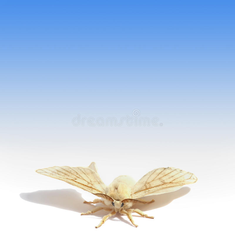 Butterfly of Silk moth royalty free stock photography
