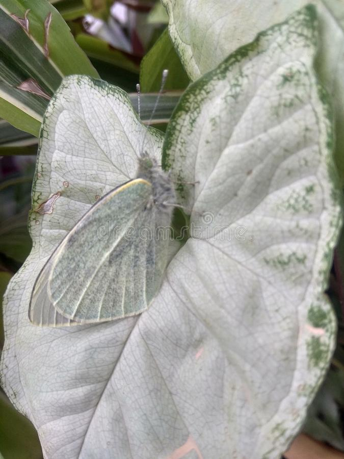 butterfly on the syngonium stock image