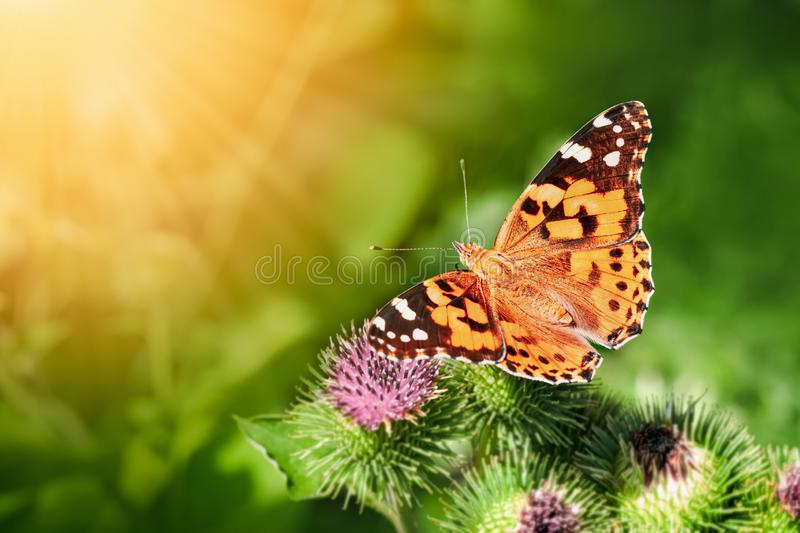 A butterfly sits on a flower of burdock on a sunny summer day.  royalty free stock photography