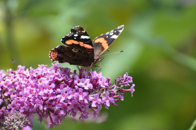 The butterfly sits on lilac. stock image