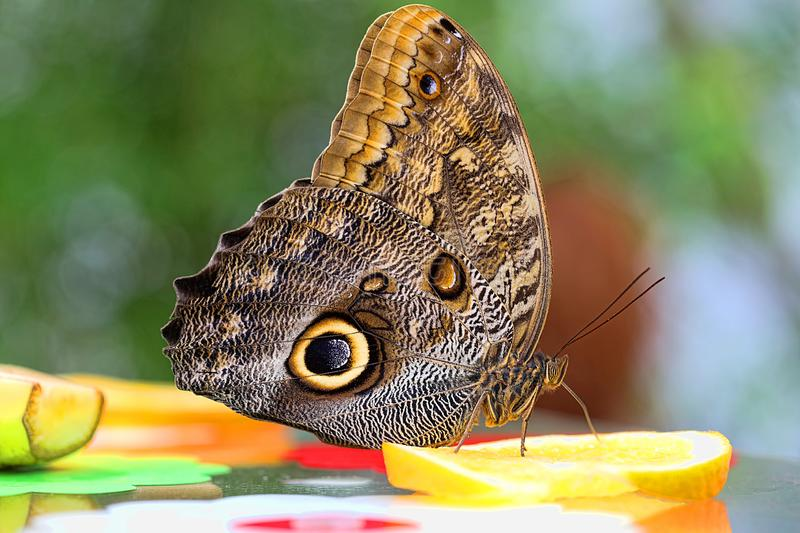 Butterfly sits orange and sucks nectar stock photography