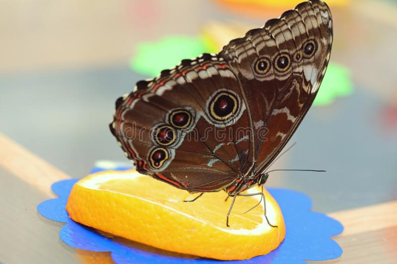 The butterfly sits orange and sucks nectar stock photography