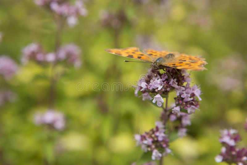 Butterfly sits on purple plant. Drinking nector royalty free stock photo