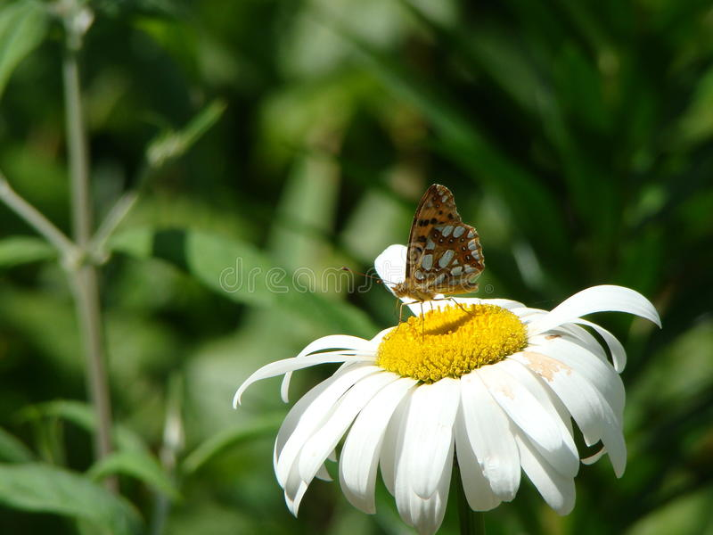Butterfly sitting on a flower royalty free stock photography