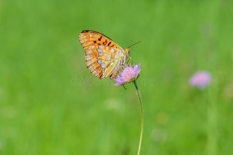 Butterfly sitting on a flower. Isolated on a green background. Silver-washed fritillary Argynnis paphia butterfly sitting on a flower and sucks nectar - detail stock images