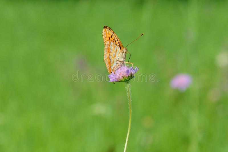 Butterfly sitting on a flower. Isolated on a green background. Silver-washed fritillary Argynnis paphia butterfly sitting on a flower and sucks nectar - detail stock photos