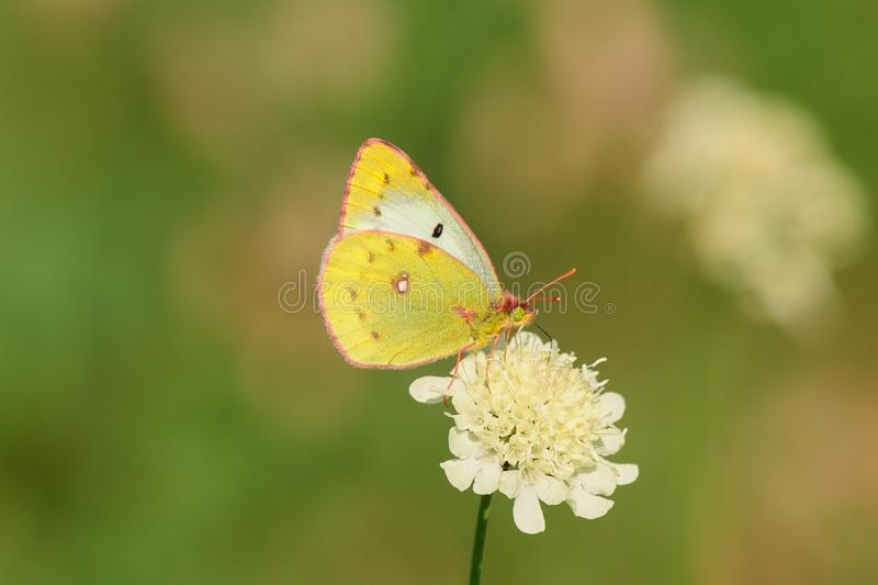 Butterfly sitting on a flower. Butterfly sucks nectar from the flower in the meadow. Isolated on a green background stock photography