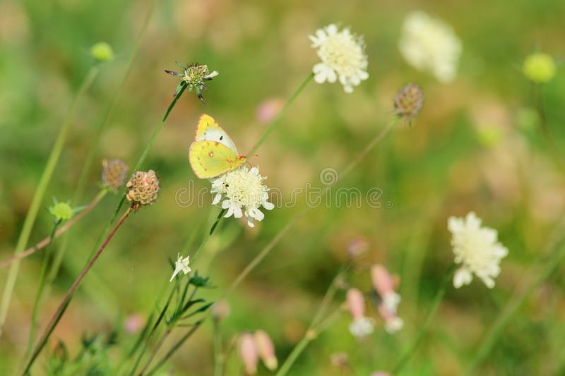 Butterfly sitting on a flower. Butterfly sucks nectar from the flower in the meadow. Isolated on a green background stock images