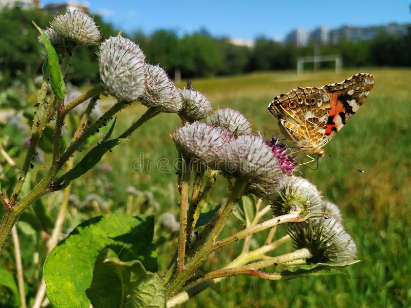 Butterfly sitting on a flower of Thistle. On the plant there are small black insects aphids. On the background of green fields and stock photography