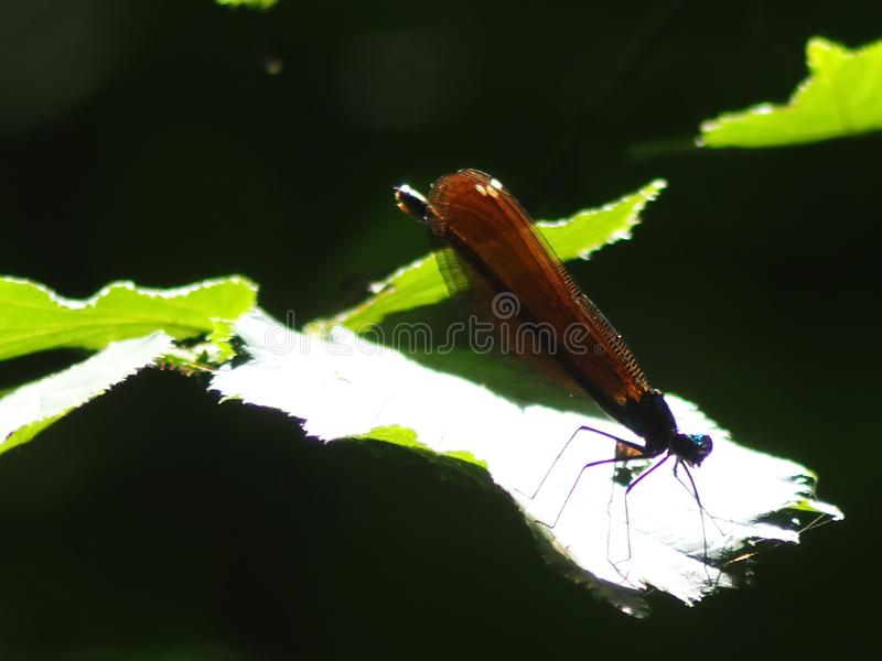 The winged quivering creature hid from the sun and from predators. Butterfly sitting on green leaf lighting bright contrast second and she`ll go on about his royalty free stock photos