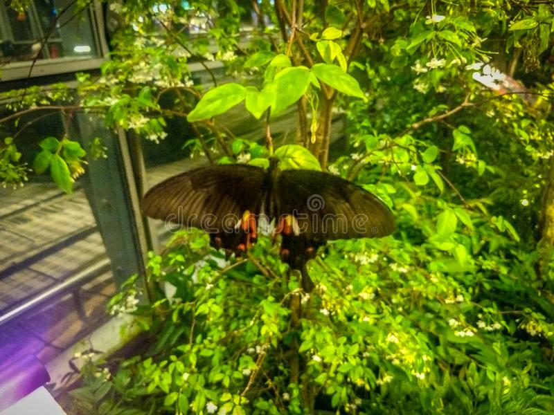 Butterfly sitting on the green plant. Butterfly in Butterfly garden located at Singapore airport stock images