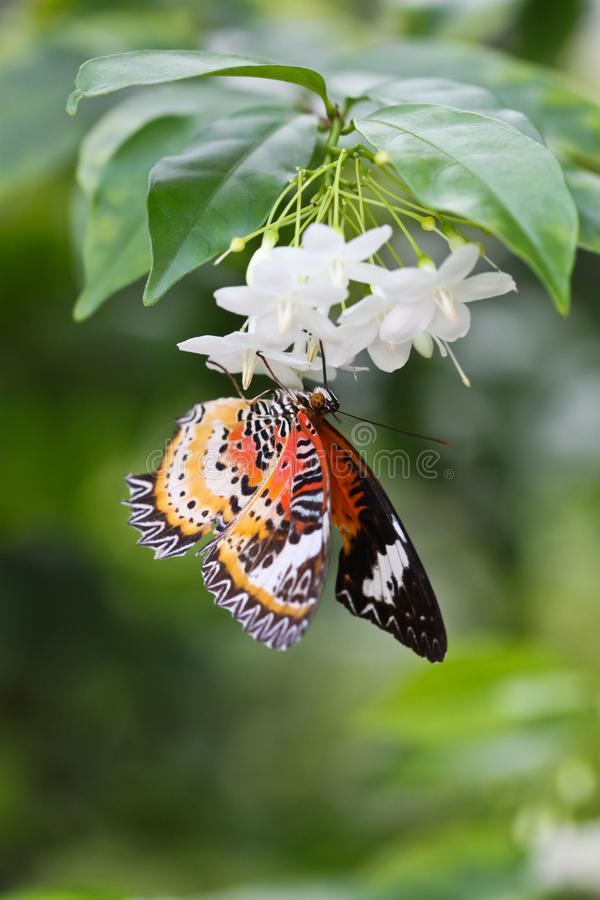 Butterfly is sitting on jasmine flower royalty free stock photos