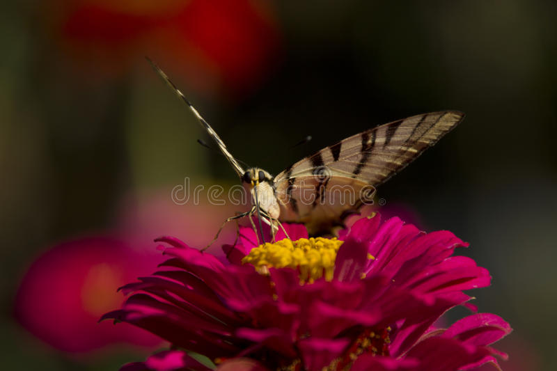 Butterfly sitting on red flower. Close up of butterfly sitting on red and yellow flower in garden royalty free stock photo
