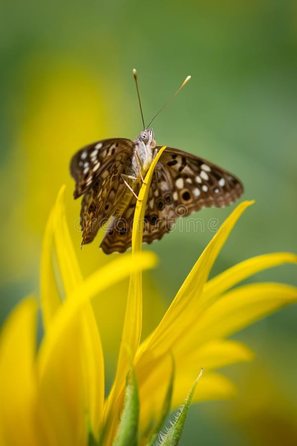Butterfly Sitting on a Sunflower royalty free stock photography