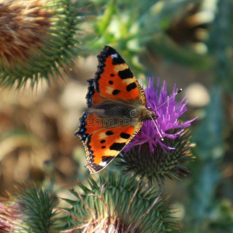 The butterfly is sitting on the thistle flower. Butterfly on a purple flower, nature, insect, wings, wildlife, outdoors, close-up stock photo
