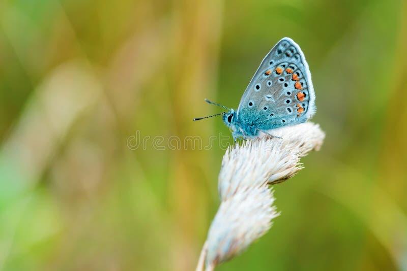 Butterfly sitting on a wisp of grass. Blue butterfly sitting on a wisp of grass stock image