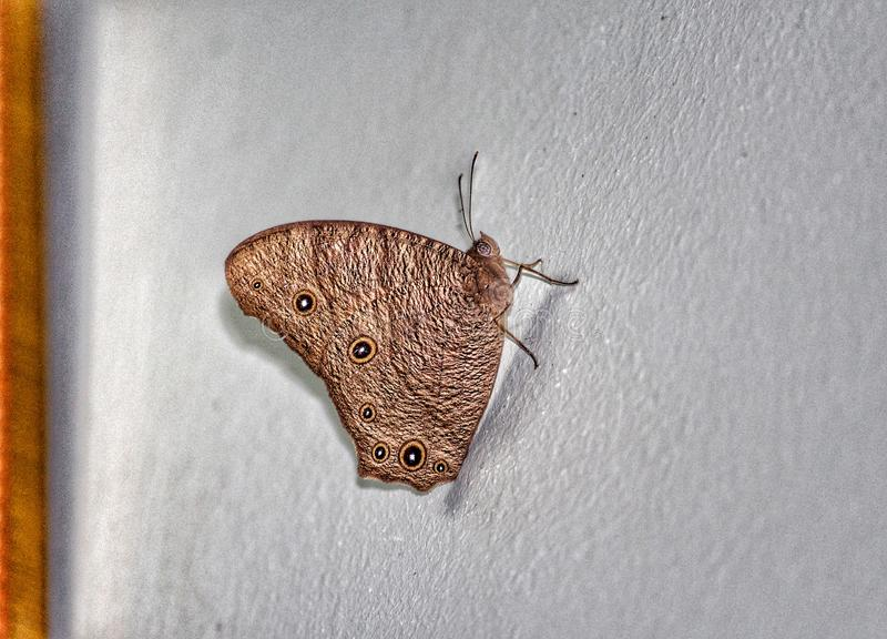 Butterfly. Small brown colored shiny butterfly spotted on wall of room stock photography