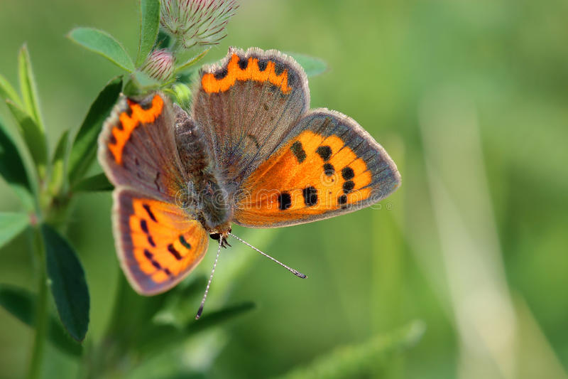 Butterfly - Small Copper (Lycaena phlaeas) on the meadow royalty free stock photography