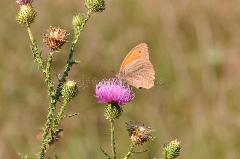 Butterfly Small heath royalty free stock photography