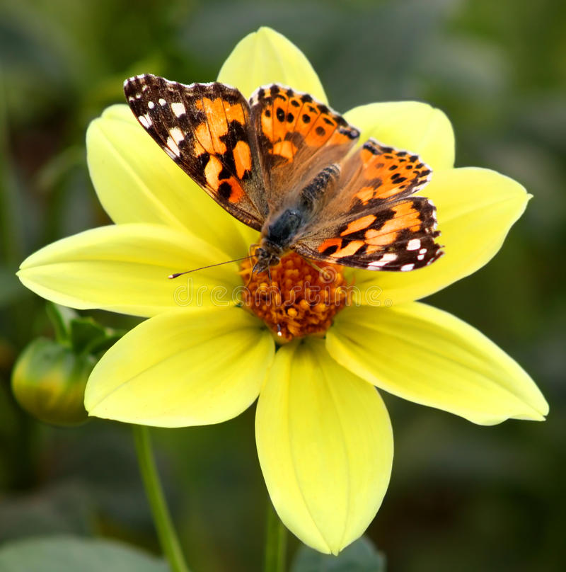 Download Butterfly Small Tortoiseshell Stock Photo - Image: 10993086