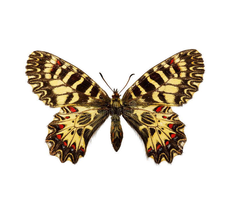 Butterfly - Southern Festoon stock photos