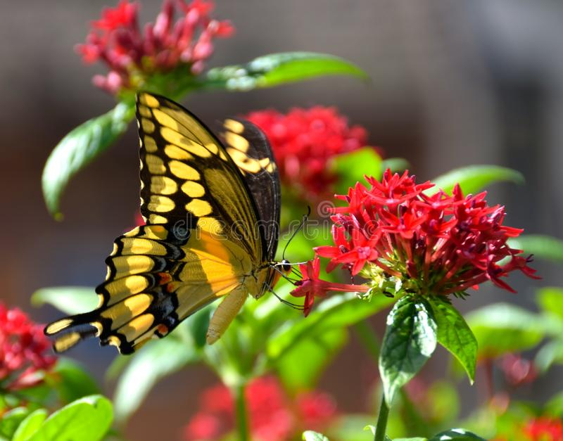 Butterfly splendour. A Tiger Swallowtail Butterfly on a red flower cluster.The tiger swallowtail butterfly (Papilio glaucas) is a strong flier with distinctive stock image