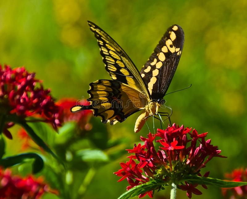 Butterfly splendour. A Tiger Swallowtail Butterfly on a red flower cluster.The tiger swallowtail butterfly (Papilio glaucas) is a strong flier with distinctive royalty free stock images
