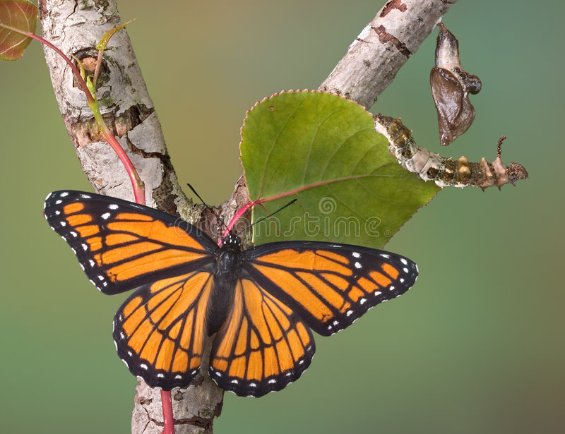 Butterfly stages. Viceroy butterfly stages are illustrated with a butterfly, caterpillar, and chrysalis