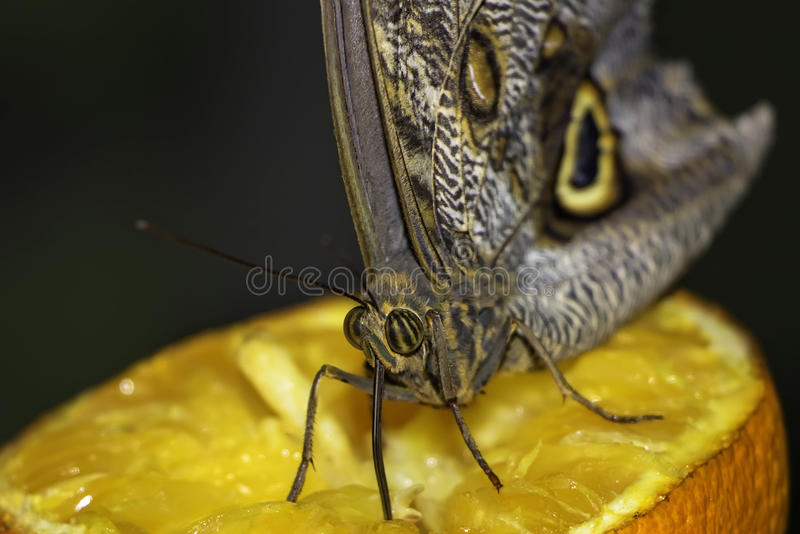 Butterfly sucking juice from an orange royalty free stock photography
