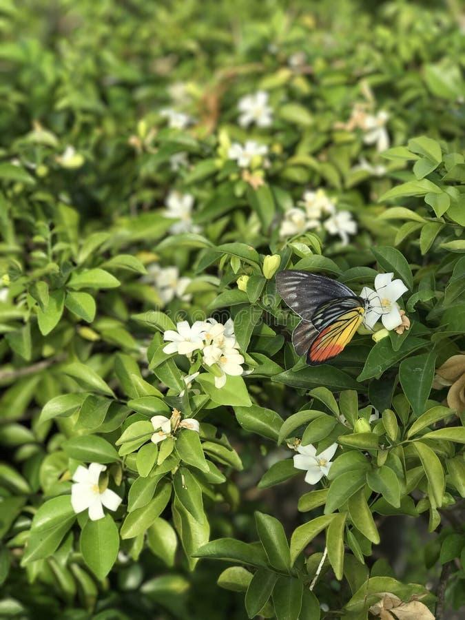 Butterfly is sucking nectar. Butterfly is sucking nectar of orange jessamine flower stock photos