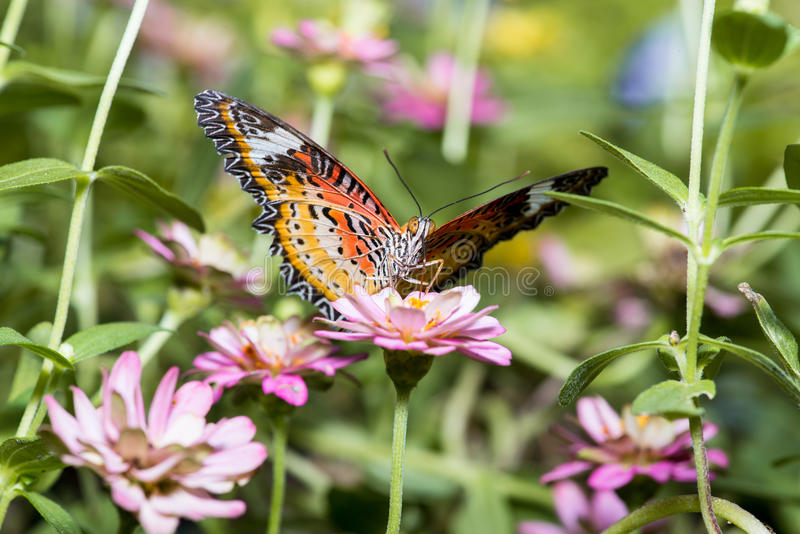 Butterfly sucking nectar from zinnia flowers. Close up of male leopard lacewing (Cethosia cyane euanthes) butterfly perching on zinnia flower royalty free stock image