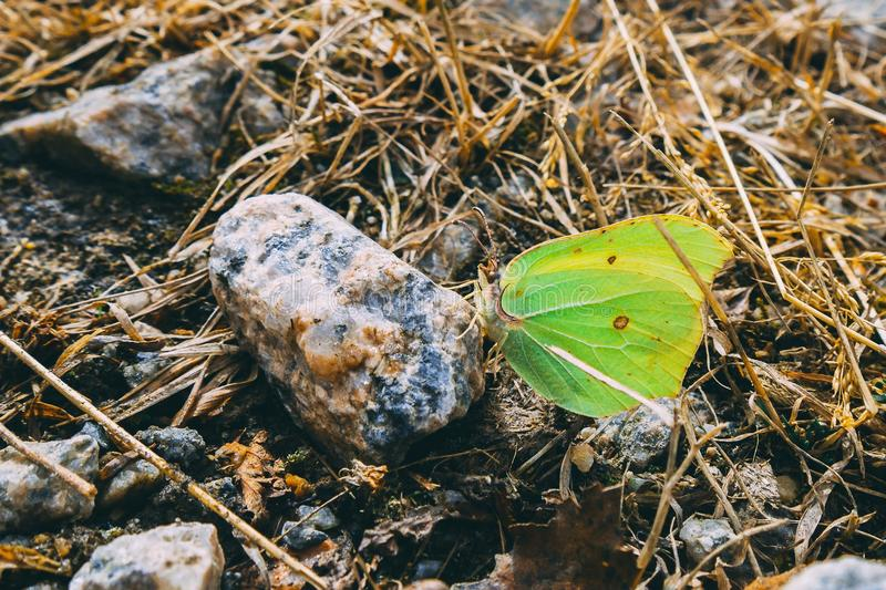 Butterfly sucks on minerals from rocks. Frozen ground with frozen leaves ,stones, sticks and straw stock photos