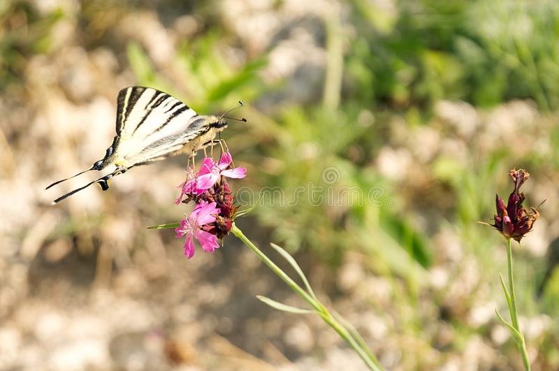 The butterfly sucks the nectar from the flower. Butterfly on flower stock image