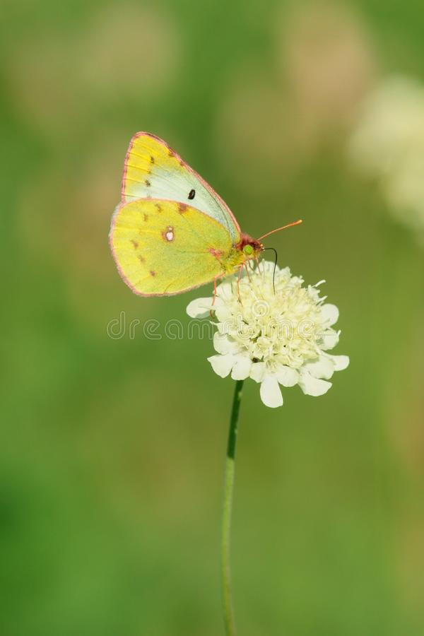 Butterfly sitting on white flower. Butterfly sucks nectar from the flower in the meadow. Isolated on a green background stock image