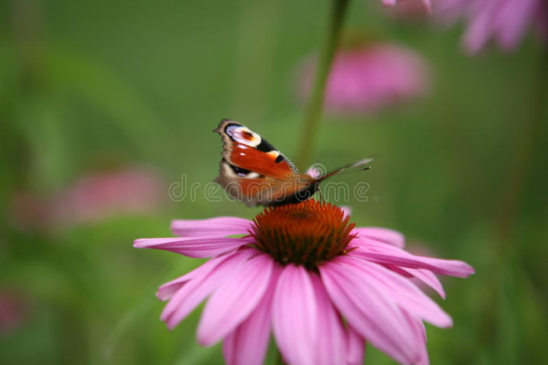 Butterfly on the summer flower stock images