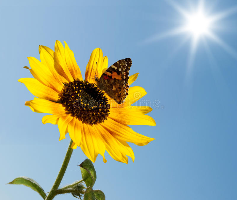 The butterfly on a sunflower royalty free stock photography
