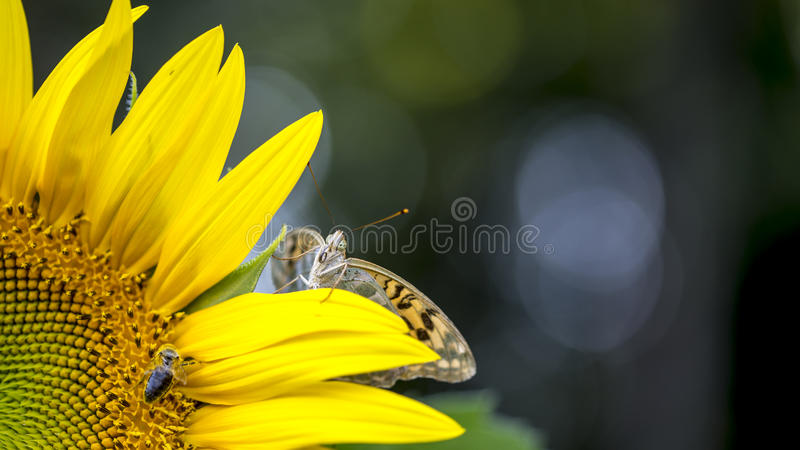 Butterfly on a sunflower royalty free stock photography